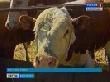 Волгоградские животноводы получат субсидии на закупку кормов
