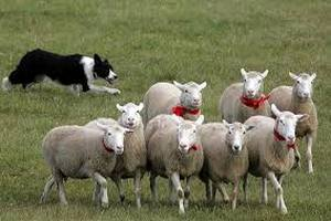 Более тысячи пастухов ворвались во двор парламента Румынии