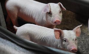 В Германии закрываются скотобойни. Себестоимость свинины вырастет