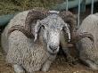 Племенных овец Волгоградской области представят на Всероссийской выставке