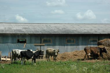Мясо молодых бычков, живой вес, 100 рублей кг, самовывоз