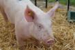 Немецкий рынок свинины: цены упали до 10-летнего минимума