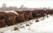 В Пензенской области развивается мясное скотоводство