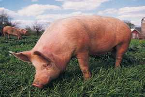 В Сальском районе Ростовской области продлен карантин по трихинеллезу свиней