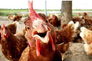 В Калининград не пустили 18 тонн мяса птицы из Беларуси