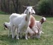 Свиньи, овцы и козы вытесняют коров из оренбургских хозяйств