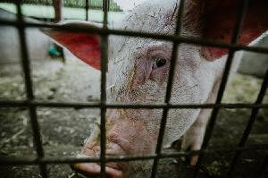 ЕАЭС полностью обеспечит себя свининой и птицей