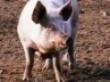 200 тысяч свиней подойдут к Пскову