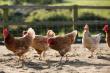 До конца года в Казахстане планируют нарастить производство мяса птицы на 25%