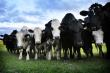 С начала года на экспорт отправлено более 2 тысяч тонн животноводческой продукции, выработанной предприятиями Брянщины