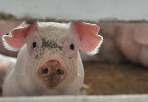 АЧС оставит румынов без свинины