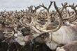Ямальцы спасают самое крупное в мире стадо оленей от бруцеллеза