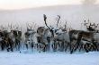 В Якутии началась осенняя корализация оленей