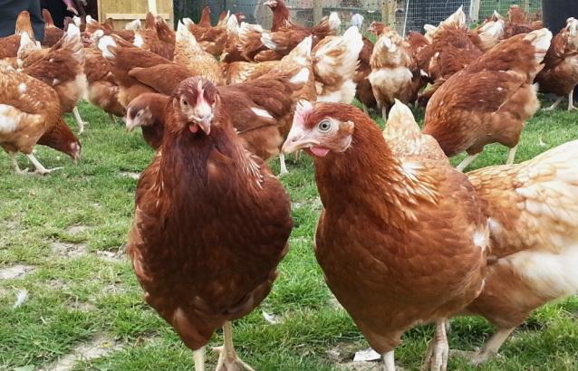 Племенная птицефабрика Грибково реализует кур несушек породы