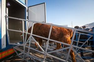 Массовый забой омских коров чиновники назвали «плановым»