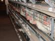 Советская птицефабрика запустила новый высокотехнологичный корпус в Кировской области