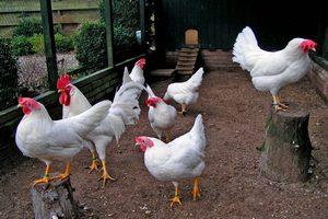 ЮАР готова пойти на уступки в вопросе импорта американской курятины