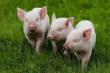 В Воронежской области появился уникальный свинокомплекс