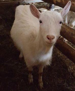 Продаются козы деревенские молодые по 5000 рублей