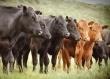 За десять лет производство говядины в Тамбовской области выросло до двадцати тысяч тонн
