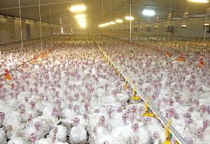 «Тамбовская индейка» увеличит производственные мощности в 1,5 раза