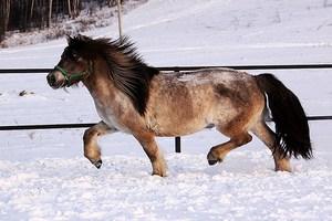 В Приморском крае будут разводить якутских лошадей мясной породы