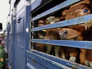Евросоюз намерен изменить закон о транспортировке скота