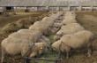 В Тверской области создают крупные овцеводческие хозяйства