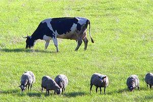 Подмосковье удвоит поголовье мясного скота к 2020 году