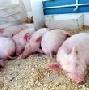 В Знаменском районе Тамбовской области уничтожили всех свиней