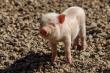 Мировые цены на свинину: как изменилась ситуация в марте?