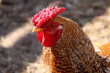 Россия с начала года увеличила экспорт мяса птицы на 24,8%