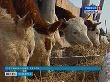 В Волгоградской области растет поголовье крупного рогатого скота