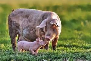 Ароматизированные комбикорма могут быть полезными для свиноматок в условиях теплового стресса - исследование