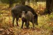 Дания построит на границе с Германией забор для защиты своих свиней
