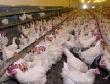 Донской регион вышел на первое место по поголовью птицы в Южном округе
