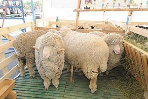 На Дону задержали 170 овец, провозимых без документов