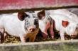 Российский экспорт свинины вырос в 1,5 раза