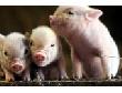 Переработка свинины