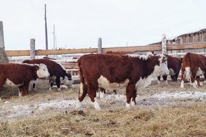 В хакасском селе вывели новый тип бычков герофордской породы