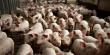 Казахстан в два раза увеличит производство свинины