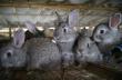 В Омской области введена в эксплуатацию крупнейшая в регионе кролиководческая ферма