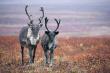В Белоярске испытали новый комплекс по забою и заготовке оленины