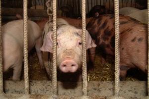 ЛПХ Орловской области попросят уйти от свиноводства