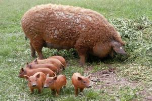 Зауральский фермер увлекся разведением мохнатых свиней