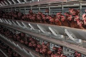 На птицефабрике «Юбилейная» завершился первый этап реконструкции