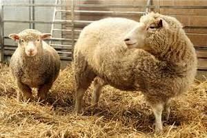 В Туркмении работникам госпредприятия выдали зарплату овцами