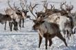 Для оленеводов Ямала увеличена субсидия на килограмм сданного мяса