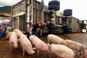 В Воронеже перевернулась фура со свиньями