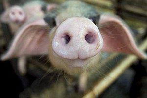 Белогорские фермеры надеются на гранты на свиноферму